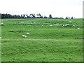 NT3154 : Sheep on hillside near Gladhouse Reservoir by Oliver Dixon