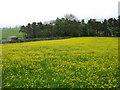 NY7203 : Buttercups near Ravenstonedale by David Purchase