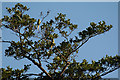 TQ3094 : Ring-Necked Parakeets in the Trees, Grovelands Park, London N14 by Christine Matthews