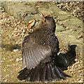 SE8675 : Juvenile blackbird by Pauline E