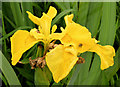 J4482 : Yellow (flag) iris, Helen's Bay - June 2014(1) by Albert Bridge