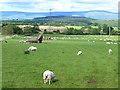 NY5425 : Field of sheep off Moor Lane by Oliver Dixon