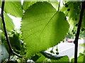 TF0820 : Leaf of Broad leafed lime, Tillia by Bob Harvey