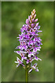 TQ2451 : Common Spotted Orchid (Dactylorhiza fuchsii) by Ian Capper