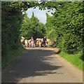 TM3798 : Cattle on Norton Road, Loddon by Roger Jones