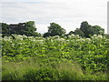 NT1672 : Giant Hogweed at Gogarburn by M J Richardson