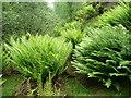 SE0908 : Ferns in Rams Clough by Humphrey Bolton