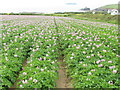 SW8975 : Cornish potato field at Trevone by David Hawgood