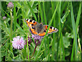 TG0544 : Small tortoiseshell at Cley Marshes by Pauline E
