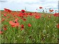 TF7720 : In a field of poppies on Massingham Heath, Norfolk by Richard Humphrey