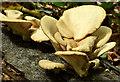 J4681 : Fungi, Crawfordsburn Country Park (June 2014) by Albert Bridge
