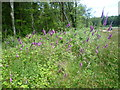 TQ6819 : Foxgloves near Coblye Wood by Marathon
