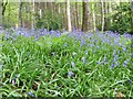 ST9326 : Bluebells in the woods by Bill Nicholls