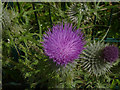 SK5637 : Spear Thistle (cirsium vulgare) by Alan Murray-Rust