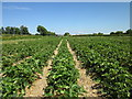 SJ4053 : Strawberry Fields at Holt by Jeff Buck