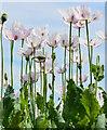 SU6485 : Poppies near Ipsden, Oxfordshire by Edmund Shaw