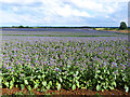 SP3844 : Field of borage, Hornton Grounds Farm by Oliver Dixon