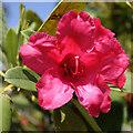 SE7269 : Crimson rhododendron by Pauline E
