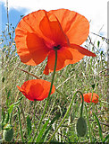 TA0390 : Backlit poppy by Pauline E
