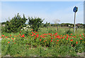 TA0078 : Poppy-lined cycleway by Pauline E