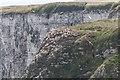 TA2073 : Gannet  Colony, Bempton Cliffs, Yorkshire by Christine Matthews