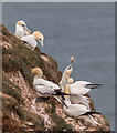 TA2073 : Gannet, Bempton Cliffs, Yorkshire by Christine Matthews