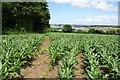 SW5336 : Footpath over a millet field by Bill Boaden