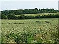 SU4940 : Wheatfield, east of Hunton Grange Farm by Christine Johnstone