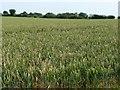 SU4840 : Wheatfield, south of Hunton Grange Farm by Christine Johnstone