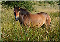 SS8635 : Exmoor Pony at Winsford Hill, Somerset by Edmund Shaw