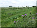 TL2990 : Thistles on Marriott's Drove, Ramsey Mereside by Richard Humphrey