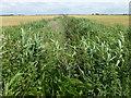 TL3289 : Reed filled dike off Broadall's Drove by Richard Humphrey