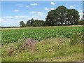 TF6304 : Sugar beet crop field beside New Road by Evelyn Simak