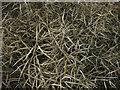 TL3547 : Ripe oilseed rape pods by Hugh Venables