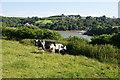 SW7825 : Cows above Gillan Creek by Bill Boaden
