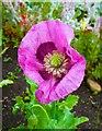 NU1341 : Lindisfarne Castle Garden poppy on Holy Island by Peter Skynner