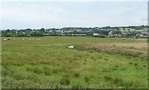 SY2591 : Drained cattle pasture, Seaton Marshes by Christine Johnstone