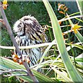 SH8081 : Striped Owl (Asio clamator) by Gerald England