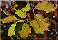 SU3362 : Copper beech leaves contre-jour, in Ham, Wiltshire by Edmund Shaw