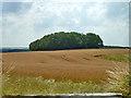 SU6514 : Wood across a wheat field by Robin Webster