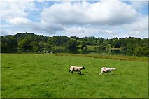 NY3404 : Sheep and Loughrigg Tarn by DS Pugh
