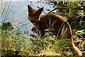SX7348 : Fox by jeff collins