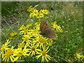 TF0528 : Butterfly on Ragwort by Bob Harvey