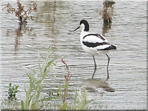 SP9314 : Avocet on the Marsh at College Lake, near Tring by Chris Reynolds