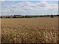 TL2566 : Ripe wheat field by Hugh Venables
