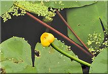 J3470 : Water lily, River Lagan, Stranmillis, Belfast (July 2014) by Albert Bridge