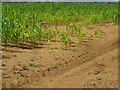 SU9346 : Maize crop by Alan Hunt