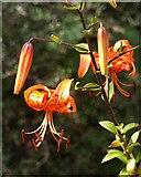 SX9050 : Turk's cap lily, Coleton Fishacre by Derek Harper