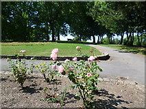 TQ2284 : Roses in Roundwood Park by Marathon