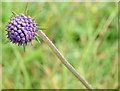 J3179 : Scabious, Cave Hill, Belfast (August 2014) by Albert Bridge